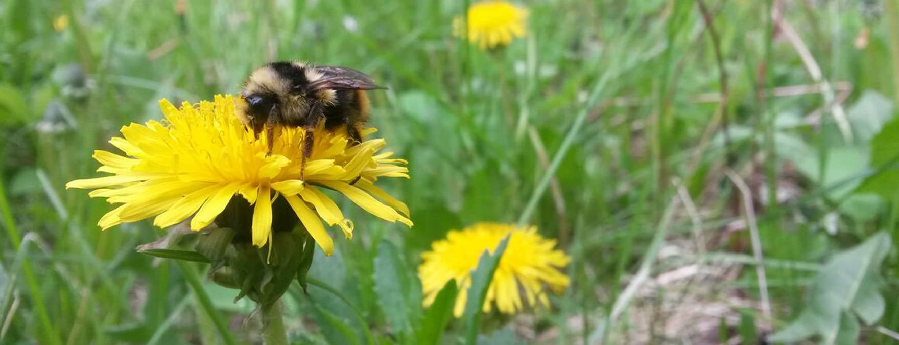 Hives-for-Humanity_Bumblebee_pollinator_wildbees_THINKblog_resize